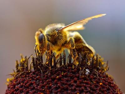 Събирането на пчелен прашец е трудна работа