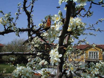 Цветен прашец - първи източник - цъфтящите плодни дръвчета пролетно време