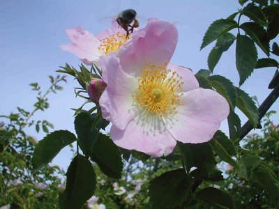 Натоварена с цветен прашец пчелата отлита към кошера