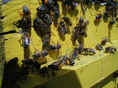 Пчели, натоварени с пчелен прашец чакат ред да влязат в кошера