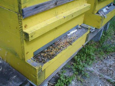 Много пчели на входа на кошера и много прашец на прелката